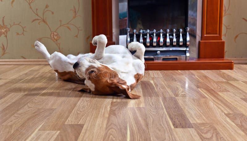 Hond op houten vloer stock afbeeldingen