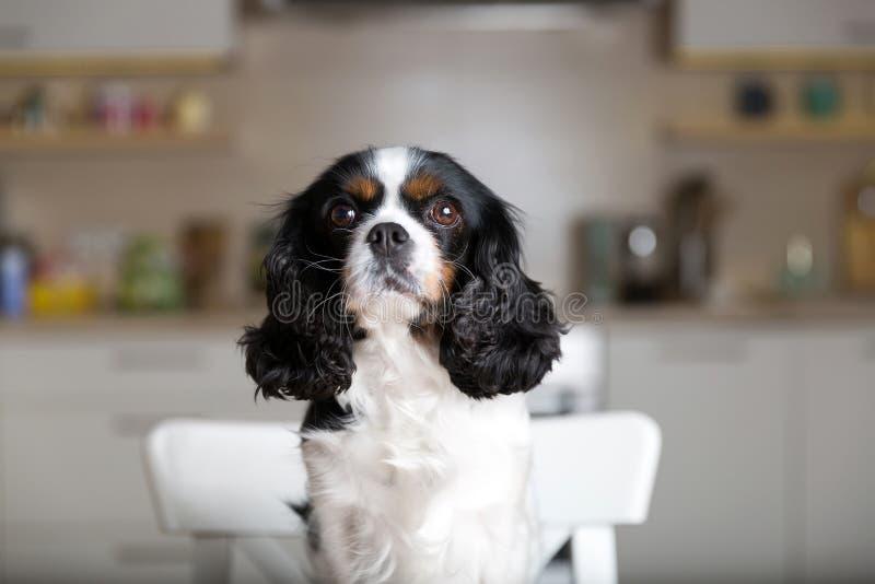 Hond op keukenstoel royalty-vrije stock foto's