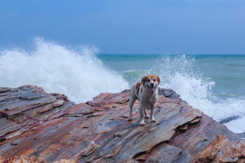 Hond op rots met grote golfplons stock afbeeldingen