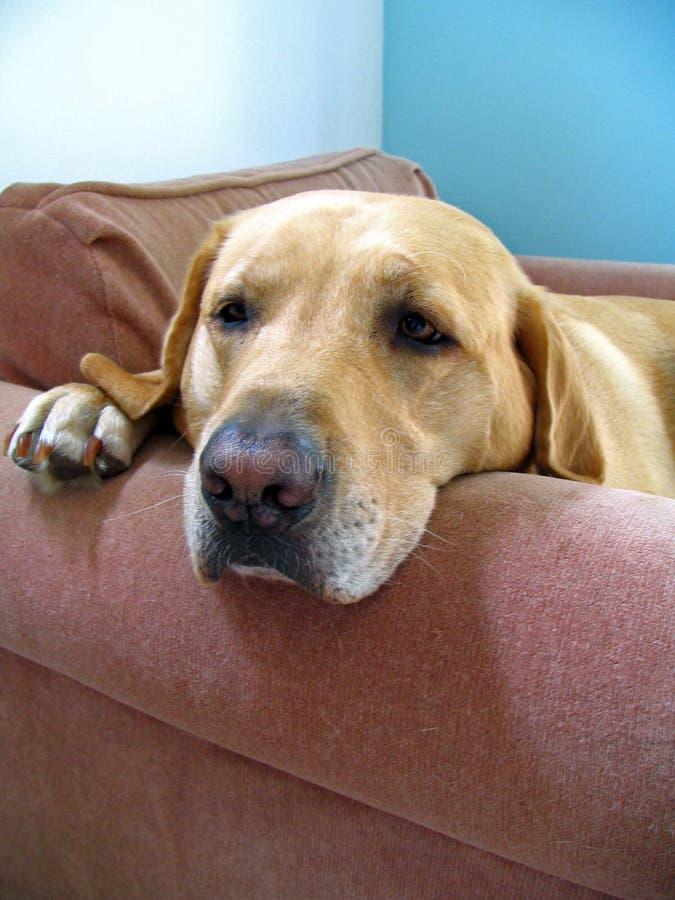 Hond op Stoel stock fotografie