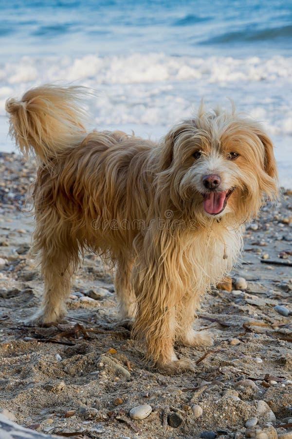 Hond op Strand stock foto's
