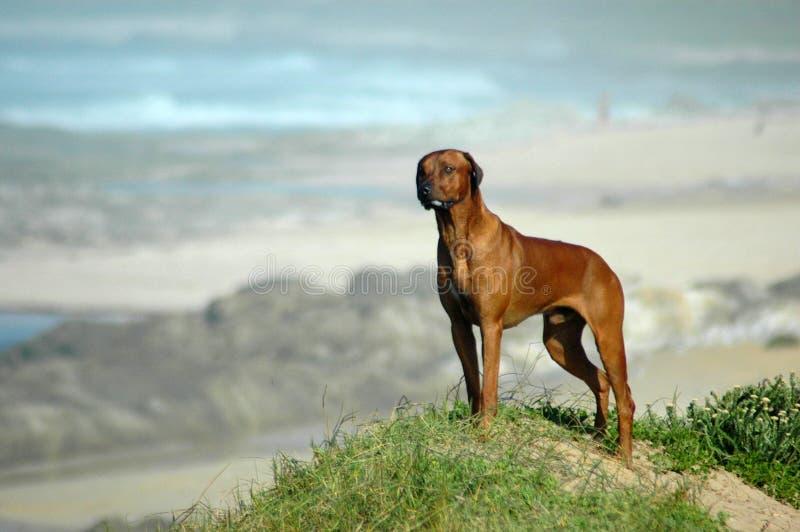 Hond op strand royalty-vrije stock afbeelding