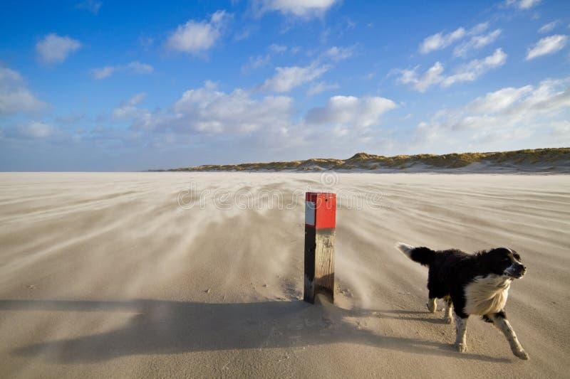 Hond op winderig strand royalty-vrije stock afbeeldingen