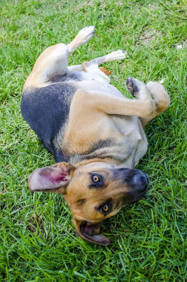 Hond peering royalty-vrije stock afbeelding