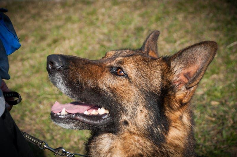 Hond portait - Duitse herder stock foto