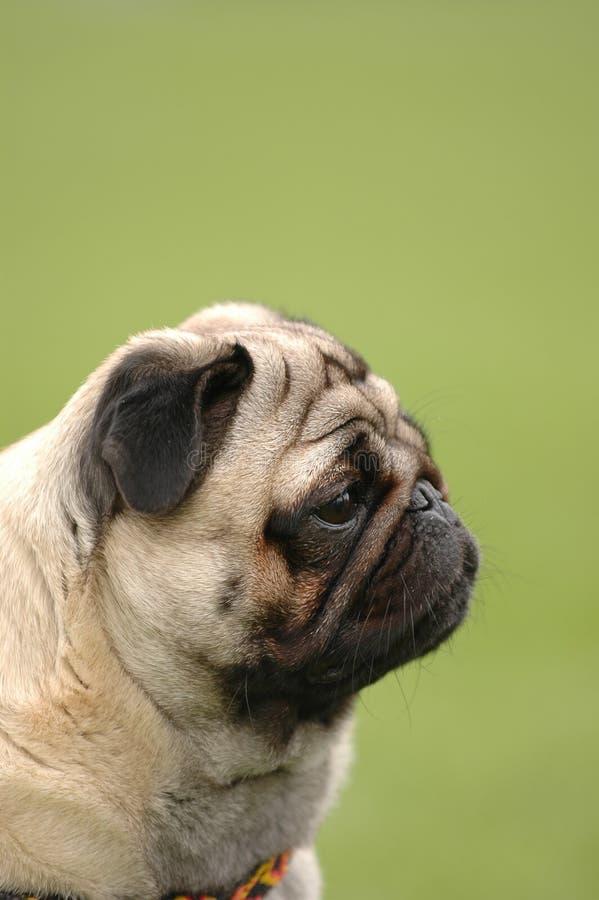 Hond - pug stock foto's