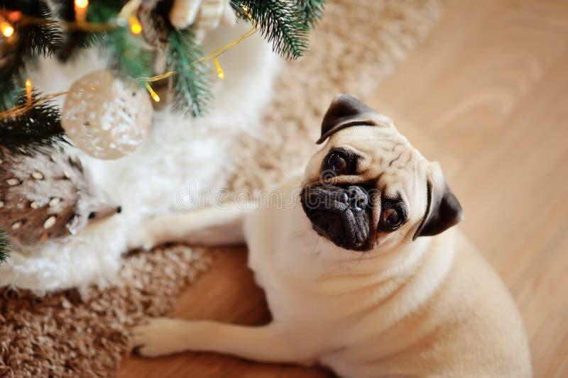 Hond pug stock foto