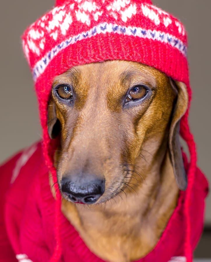 Hond in rode hoed royalty-vrije stock afbeelding