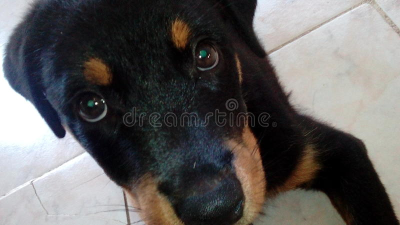 Hond rotteweiler stock afbeelding