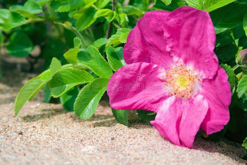 Hond-roze-4 royalty-vrije stock foto's