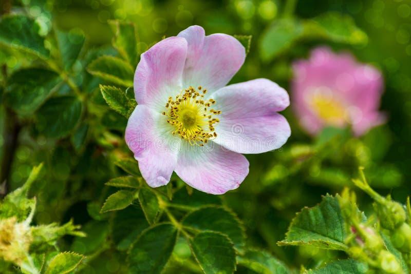 Hond-roze bloem vage achtergrond bokeh royalty-vrije stock afbeelding