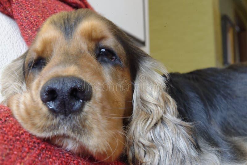 Hond rustend hoofd op bank royalty-vrije stock afbeelding