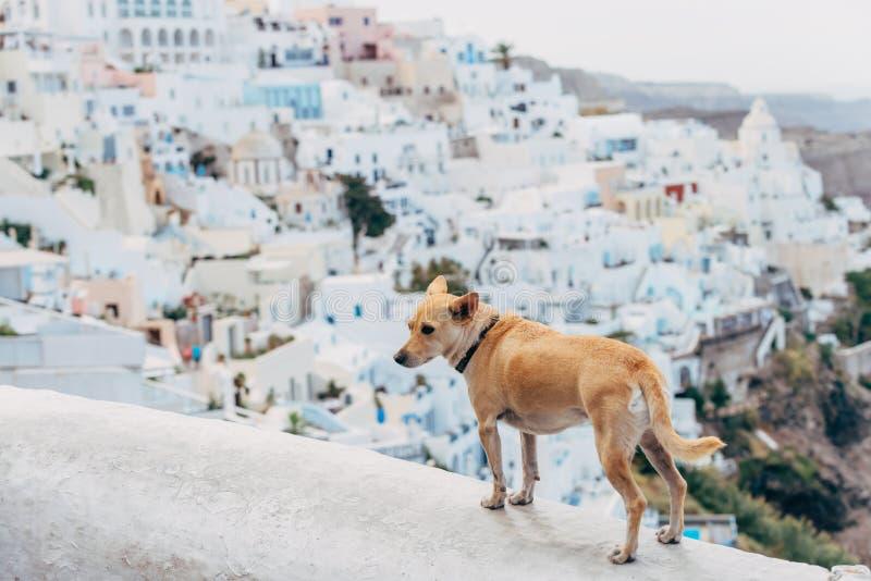 Hond in Santorini stock foto's