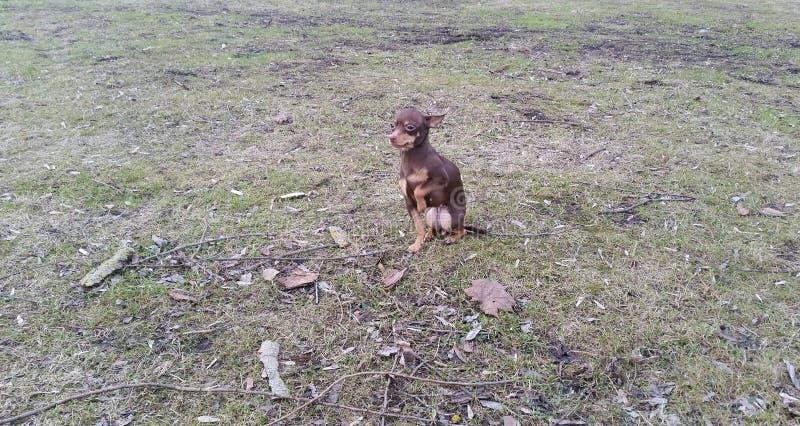 Hond speelgoed-Terrier stock fotografie