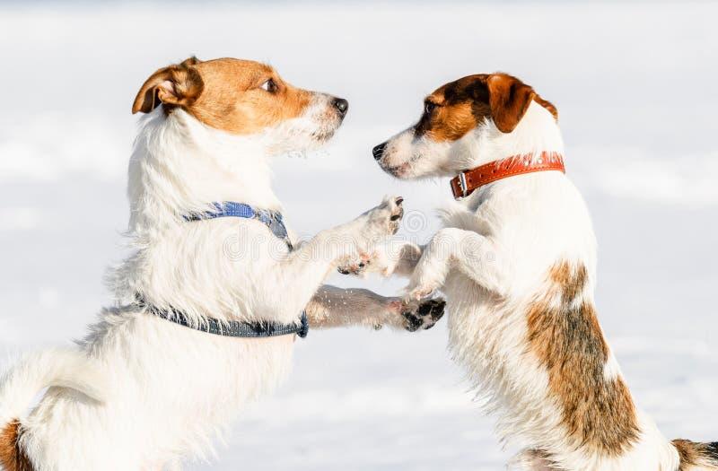 Hond in uitrusting versus hond in kraag die op sneeuw worstelen royalty-vrije stock foto