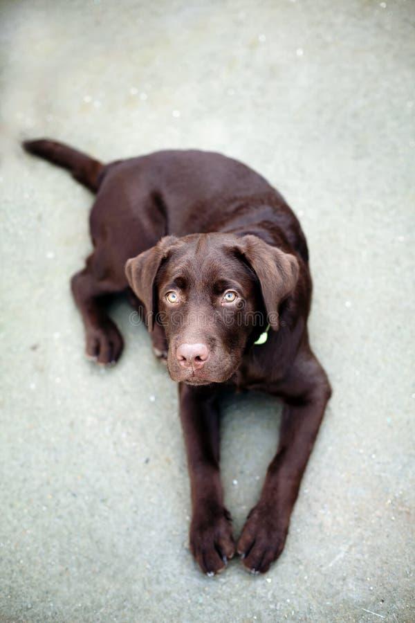 Hond van chocolade de jonge labrador retriever stock afbeeldingen