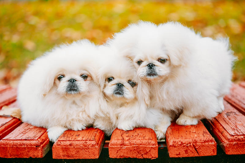 Hond van het drie de Witte van de de Pekineespekinees van de Puppypekinees Jongenpuppy royalty-vrije stock afbeeldingen