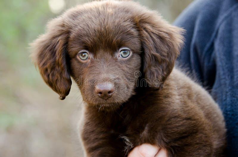 Hond van het het rassenpuppy van het chocoladespaniel de Aussie gemengde stock foto's