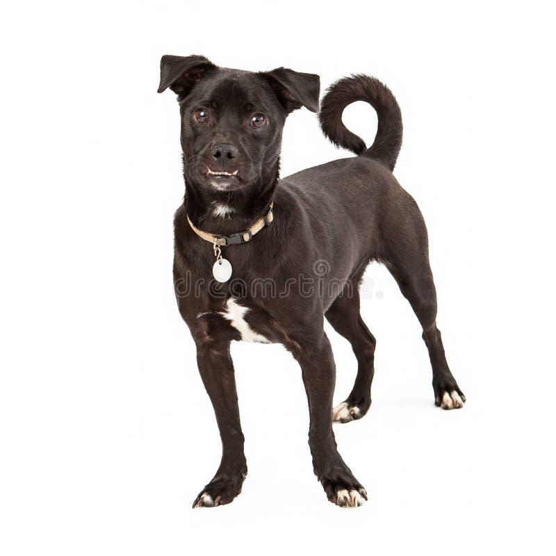 Hond van het middelgrote Grootte de Gemengde Ras stock afbeelding