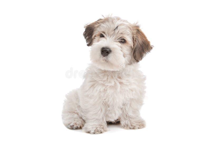 Hond van het Puppy van de mengeling de Maltese royalty-vrije stock foto