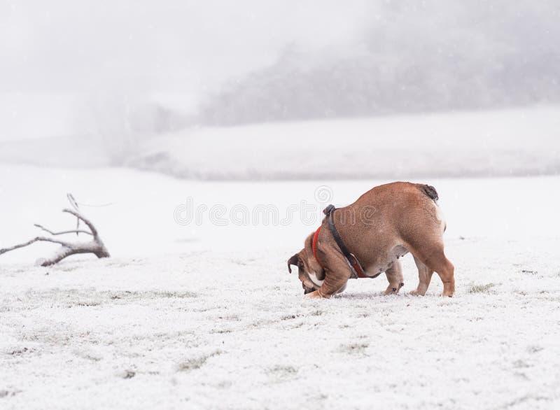 Hond van het rode en zwarte Engelse buldog spelen op de sneeuw en het snuiven van iets stock afbeeldingen