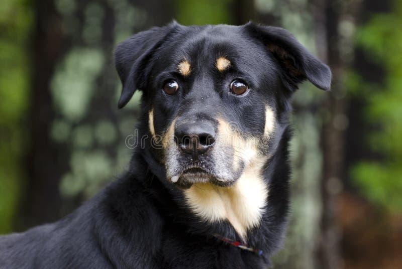 Hond van het Rottweiler de Herder gemengde ras, de goedkeuringsfotografie van de huisdierenredding stock afbeelding