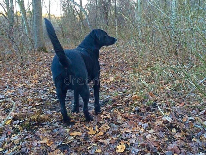 Hond wandeling royalty-vrije stock afbeelding