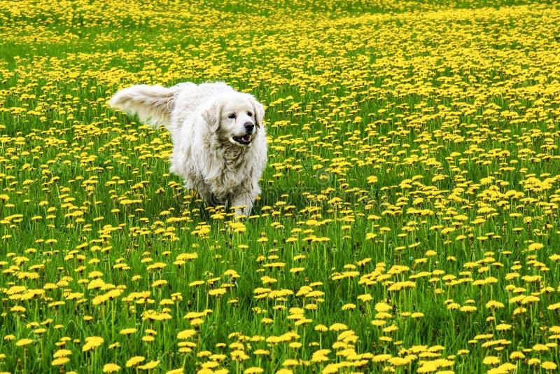 Hond in weide met gele bloemen stock fotografie