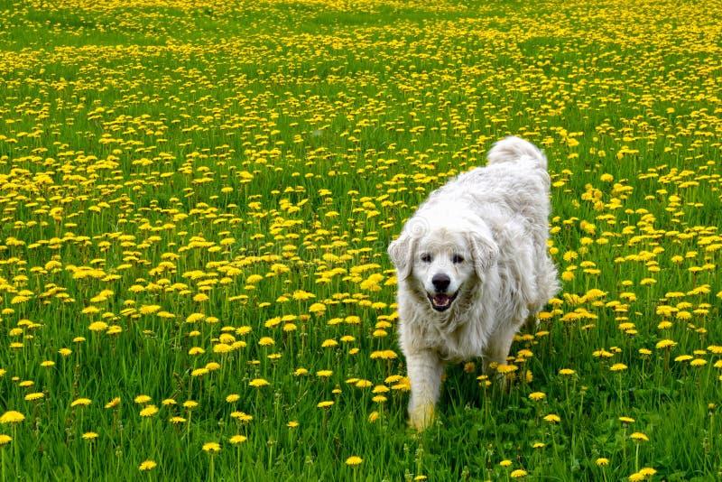 Hond in weide met gele bloemen stock foto's