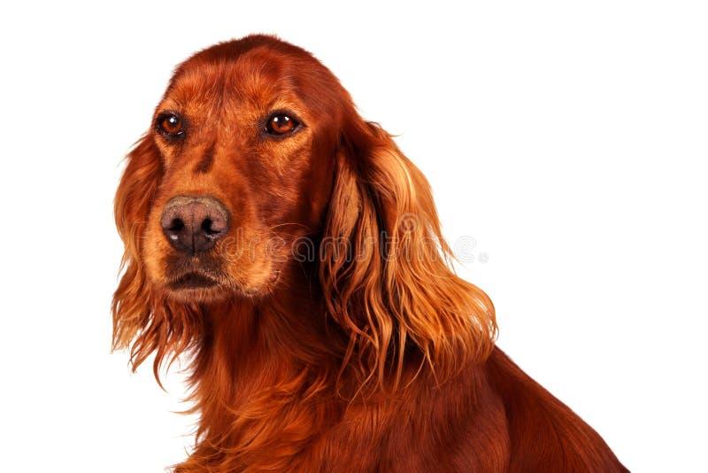 Hond - Zetter royalty-vrije stock afbeeldingen