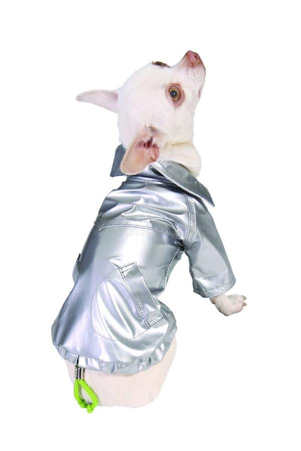 Hond in zilveren regenjas royalty-vrije stock foto's