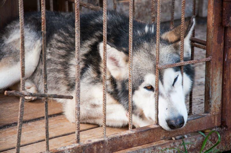 Hond zoals een wolf in een kooi wordt gesloten die Gleed haar gezicht door de bars uit Droevige Hond royalty-vrije stock foto's
