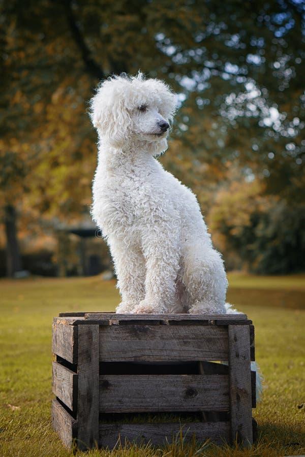 Hond Zoals Zoogdier, Hondras, Gras, Bichon Frisé Gratis Openbaar Domein Cc0 Beeld