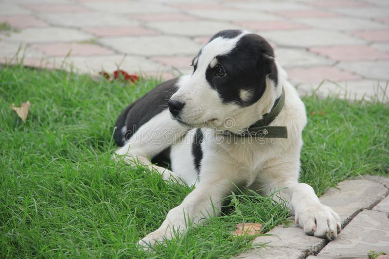 Hond zwart-witte Alabai stock fotografie