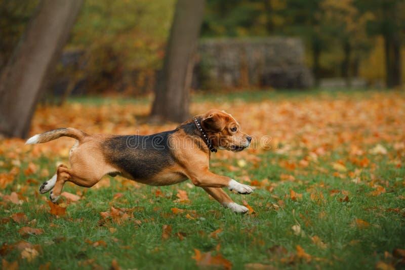Hondbrak die in de herfstpark lopen royalty-vrije stock foto's