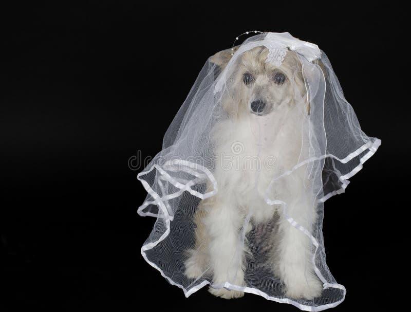 Hondbruid stock afbeelding