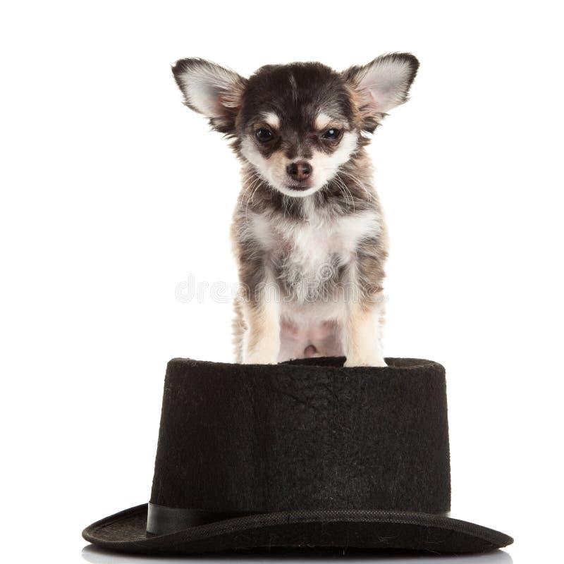 Hondchihuahua op witte hoed wordt geïsoleerd die als achtergrond stock foto