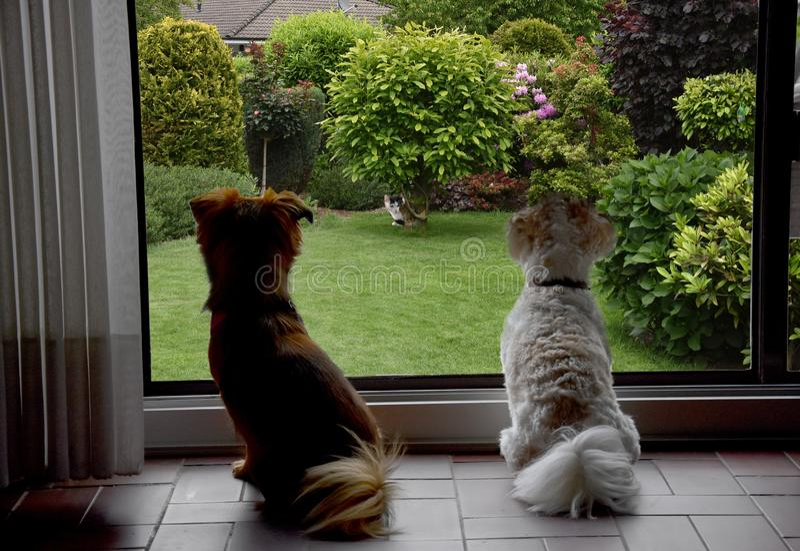 Honden achter een raam die een kat observeren stock fotografie