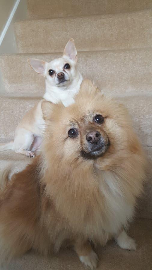 Honden Chihuahua en spitz royalty-vrije stock fotografie