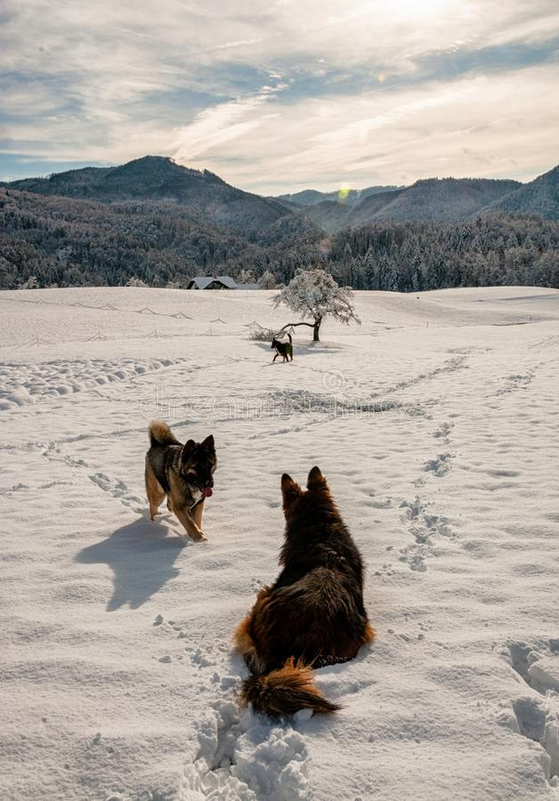 Honden in de sneeuw in suneshine stock foto