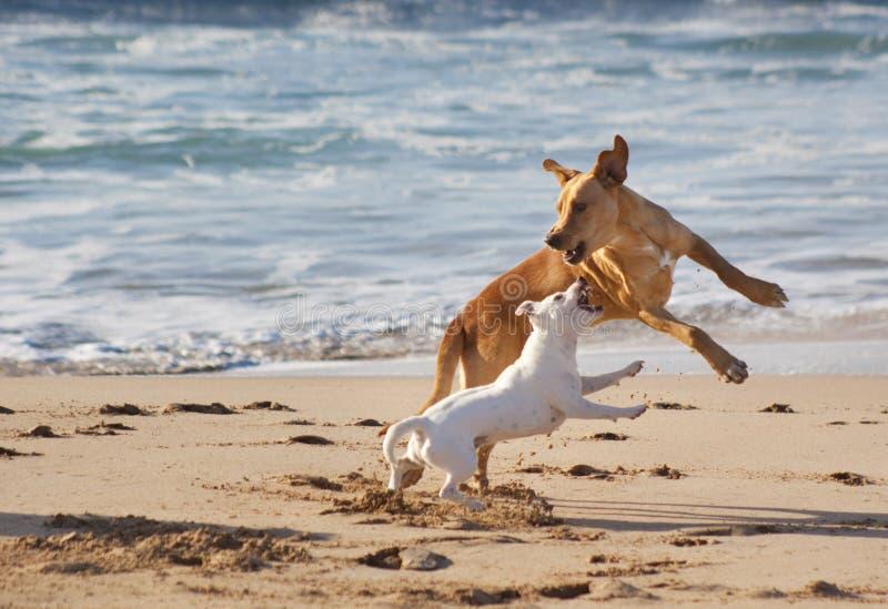 Honden die bij het strand spelen royalty-vrije stock foto's
