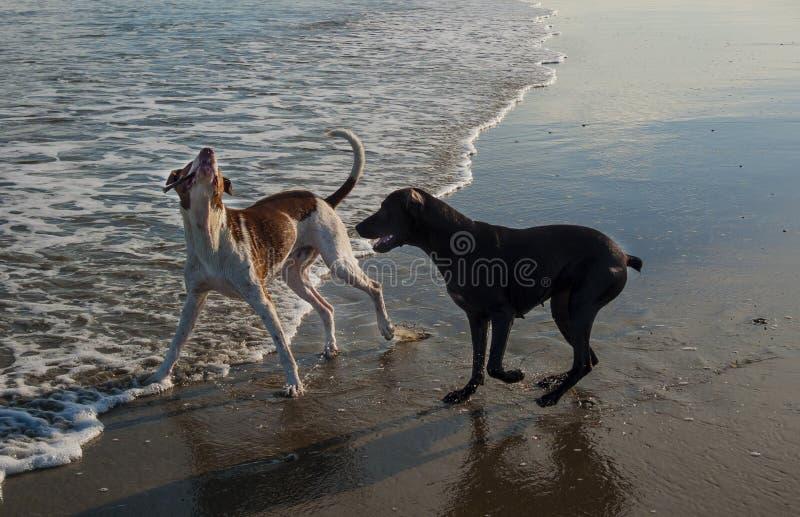 Honden die in het strand spelen royalty-vrije stock afbeeldingen
