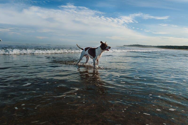 Honden die in het strand spelen stock fotografie