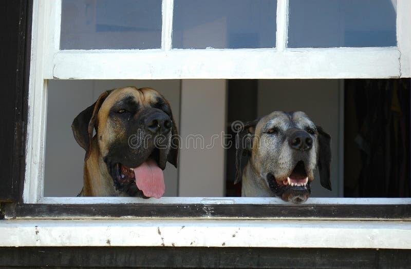 Honden die huis bewaken royalty-vrije stock foto's