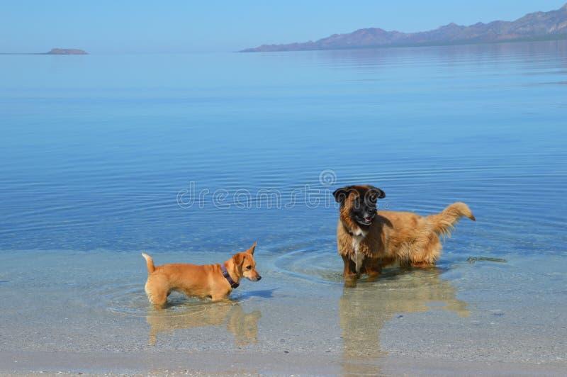 Honden die in Mexico in Baja Californië del Sur, Mexico spelen stock foto
