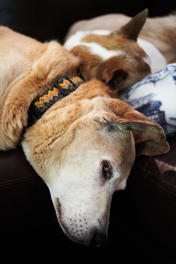 Honden die op een laag slapen stock foto