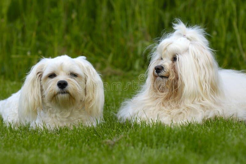 Honden die op gras rusten royalty-vrije stock foto's