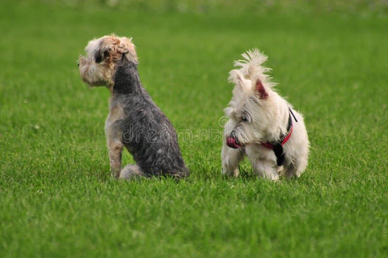 Honden die op groene achtergrond kleine honden likken royalty-vrije stock foto