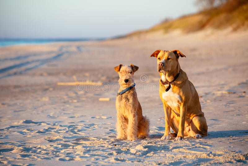 Honden die op het strand bij zonsondergang zitten stock afbeelding
