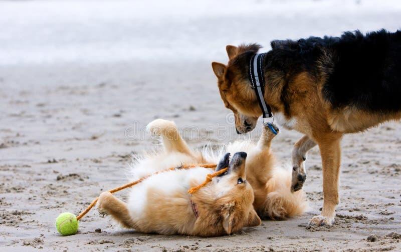 Honden die op het strand spelen